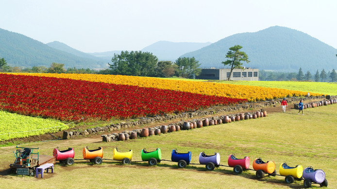 Touristes à proximité d'un champ de célosies, fin octobre, à Seogwipo, en Corée du Sud