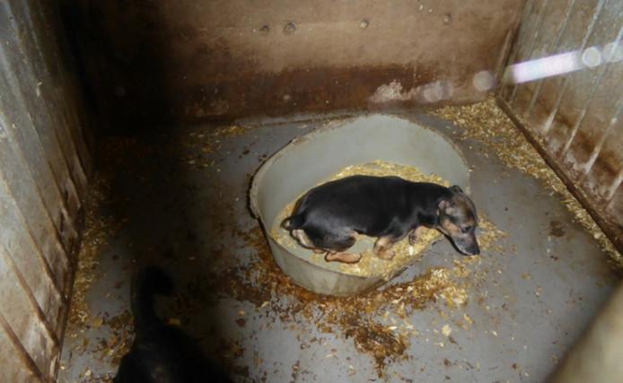 De honden zaten onder erbarmelijke omstandigheden in de schuur.