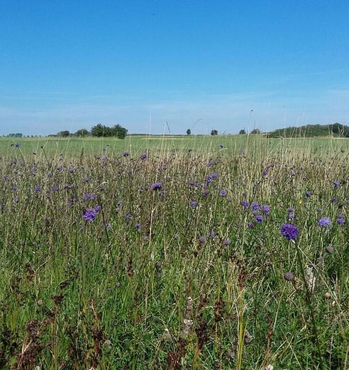 De Blauwe Knoop in Zeeland is zo zeldzaam, dat elk jaar met spanning wordt uitgekeken naar het moment van bloeien.