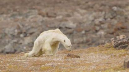 Stierf deze uitgemergelde ijsbeer echt door de klimaatverandering? Wellicht niet