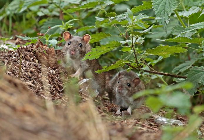 Bruine ratten kunnen ook leuk zijn, zoals deze twee schatjes.
