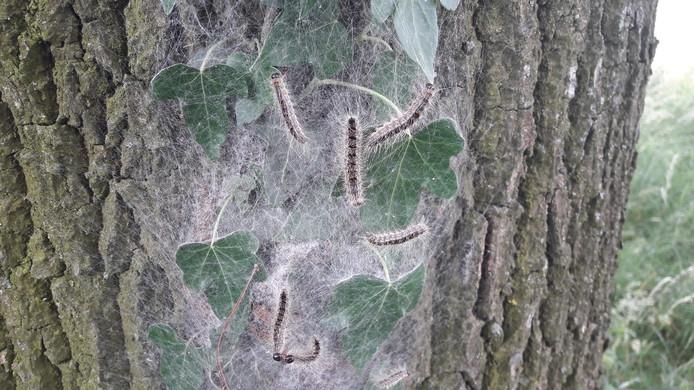 Een nest van eikenprocessierupsen.