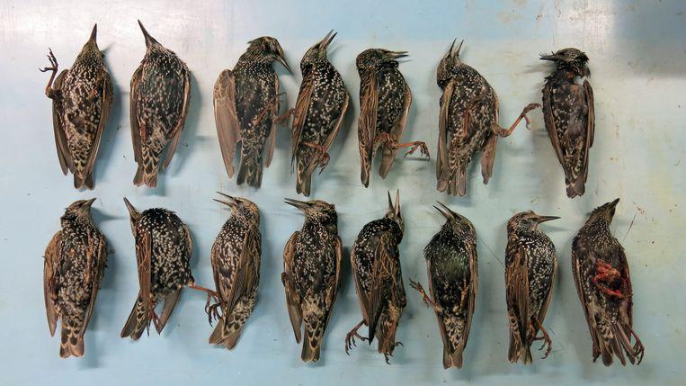 De vijftien onderzochte Haagse spreeuwen in het Natuurhistorisch Museum in Rotterdam. Beeld Kees Moeliker