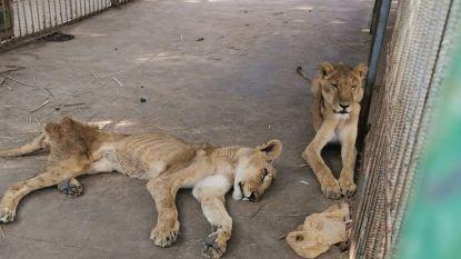Uitgemergelde leeuwen schokken bezoekers in dierentuin Soedan