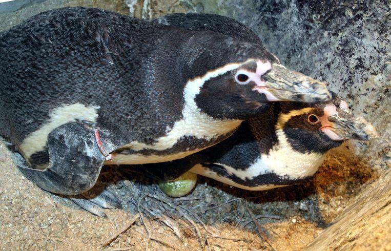 Blankenberge broedende pinguins in sealife center