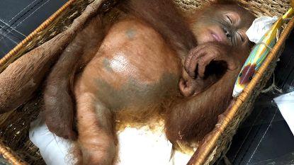Rus krijgt één jaar cel in Indonesië voor smokkelpoging gedrogeerde orang-oetan