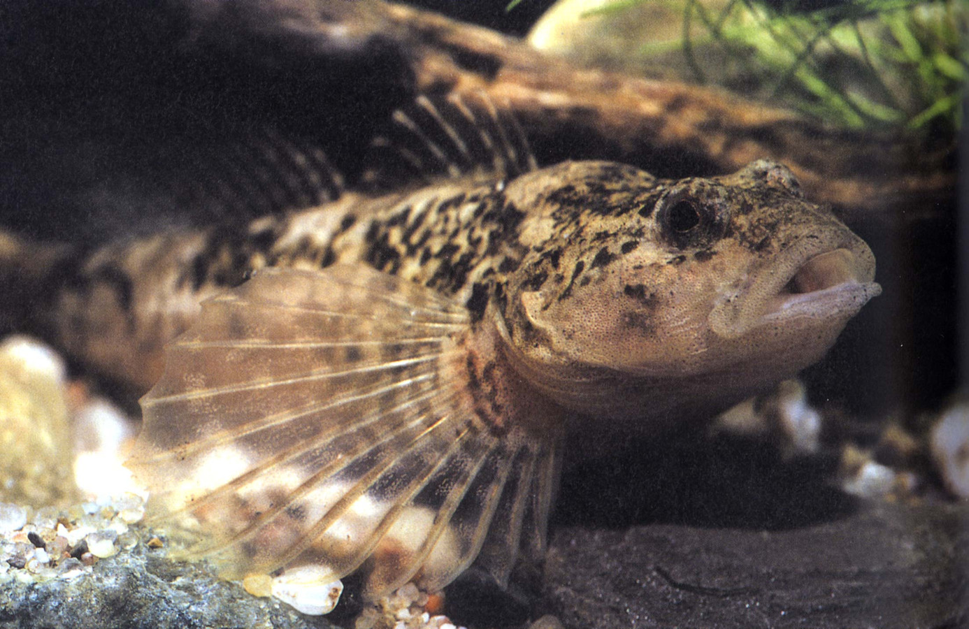Ter illustratie, de rivierdonderpad.