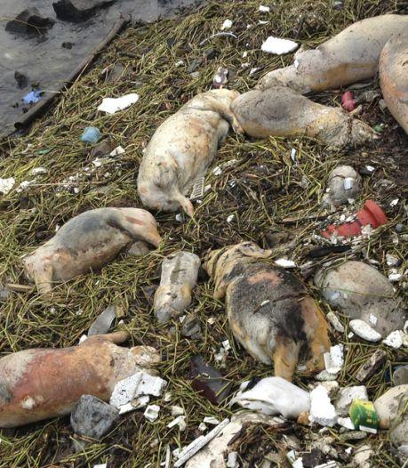 Un scandale de porcs qui en dit long sur l'agroalimentaire chinois