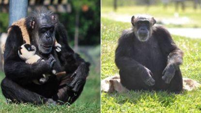 Little Mama, 'oudste chimpansee ter wereld' is overleden