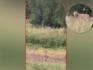De wolf die inmiddels verantwoordelijk is voor de dood van 58 schapen in het gebied rondom Heusden is zondag opnieuw vastgelegd op camera. Dit keer terwijl hij in het gras staat aan de Voordijk in Vlijmen.
