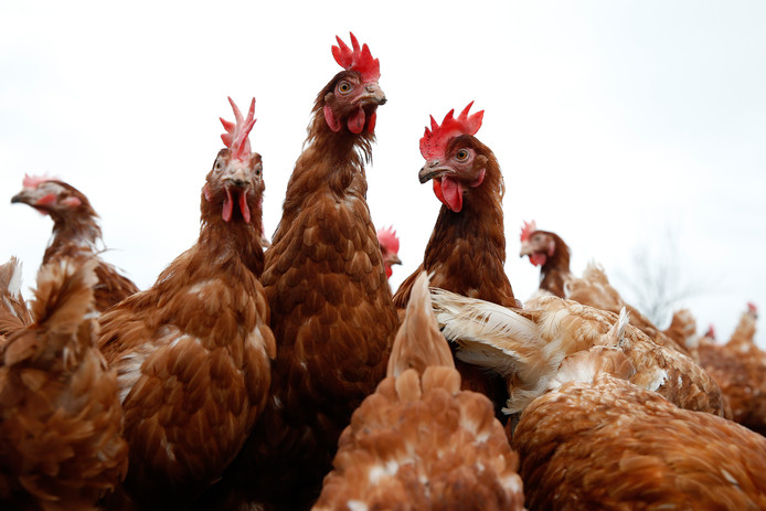 Door de dumping van Braziliaans kippenvlees zakt de prijs.
