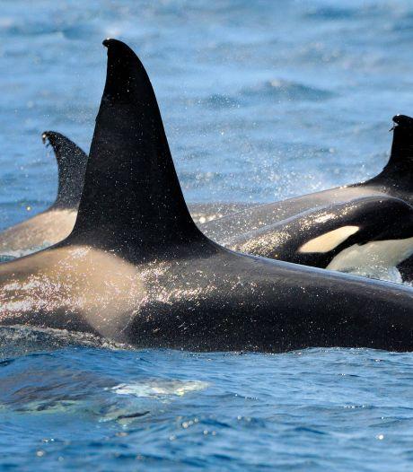 Orka's rammen zeilboten voor de Spaanse en Portugese kust