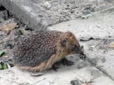 Steeds meer dode egels langs wegen in Gorinchem