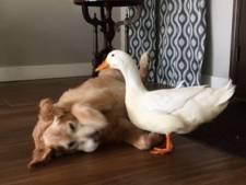 Eend en hond vormen opmerkelijk duo