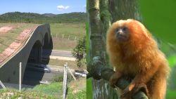 Aapjes kunnen voortaan veilig de weg oversteken via natuurbrug