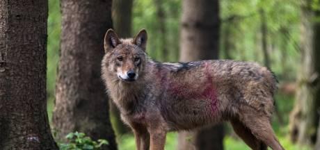 Nederlandse schapen slachtoffer van hongerige wolven