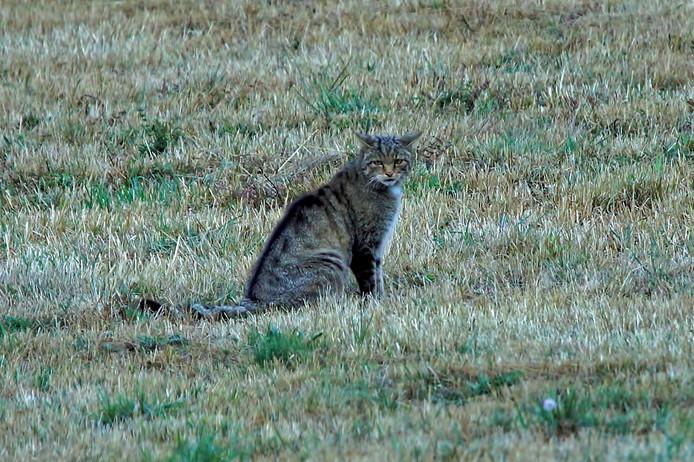 Een wilde kat, gefotografeerd in Spanje.