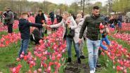 170.000 tulpen wachten om geplukt te worden