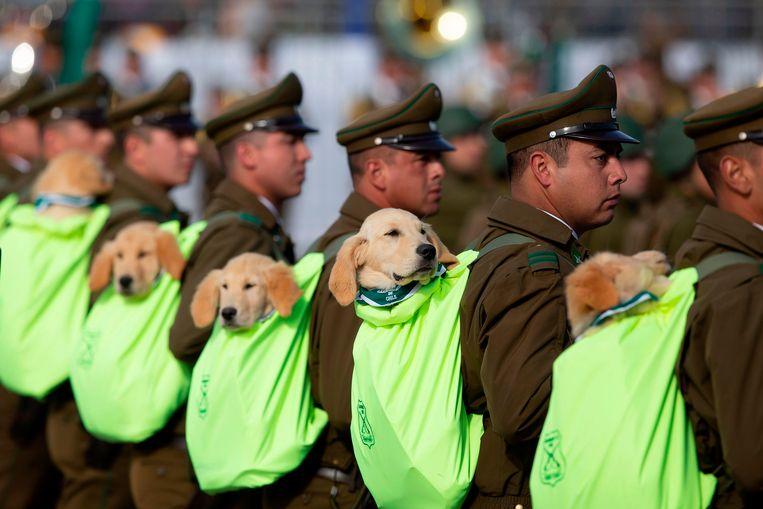Schone verblijfsomstandigheden zijn volgens richtlijnen van het Amerikaanse leger cruciaal voor het functioneren van opsporingshonden. Op de foto tonen agenten tijdens een militaire parade in de Chileense hoofdstad Santiago de honden die worden ingezet bij hun werk. Beeld AFP