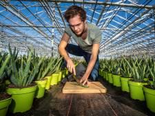 Naaldwijkse plantenkweker verkoopt nu aloë vera-bladeren voor huidverzorging: 'Beetje nood breekt wetten'