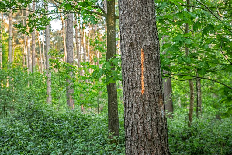 Een groot aantal bomen dragen een oranje markering. Die zullen normaal gezien gekapt worden.