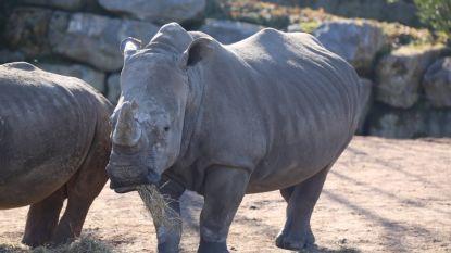 Nu ook tweede witte neushoorn van Pairi Daiza zwanger