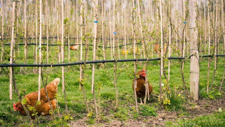 Kippetjes scharrelen onder de bloeiende bomen Beeld Fruittuin van West