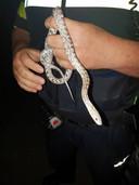 De politie vond een slang en zoekt nu de eigenaar.