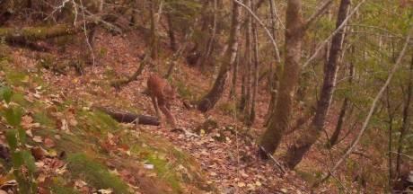 Lynx op camera vastgelegd in Belgische Ardennen