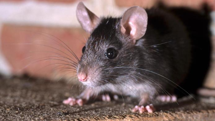 Ratten vormen een steeds groter probleem in Rotterdam.