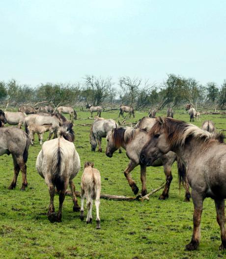 Partij voor de Dieren: moeten de 'Texelse' konikpaarden uit het Oostvaardersveld echt naar de slacht?