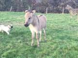 Veulentje Zippy is kruising tussen zebra en ezel