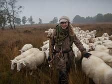 Veluwse schapen weer onder leiding