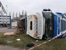 Vrachtwagenchauffeur over gekantelde vrachtwagen met varkens: 'Ik gaf te veel gas'