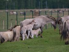 Elf konikpaarden leggen loodje in vangweide Oostvaardersplassen