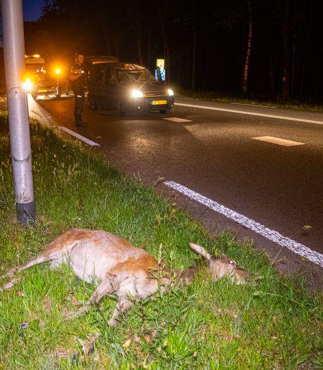 Nachtelijke 'wandeling' van edelhert bij Heerde loopt niet goed af: dier dood en flinke schade
