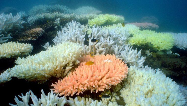 Een dinsdag gepubliceerde foto die de verbleking van koraal in het Great Barrier Reef laat zien. Beeld afp