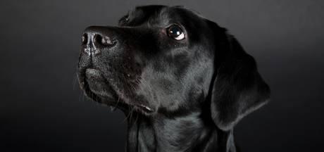 Labrador vergiftigd in Lieshout