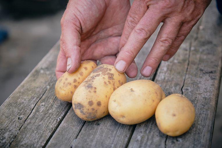 Links twee aardappelen na een periode van droogte, rechts twee aardappelen die genoeg water hebben gehad. Beeld Sjaak Verboom