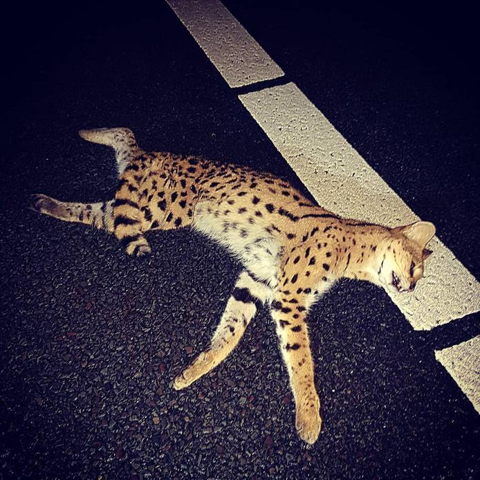 De politie vindt een 'bijzonder dier' langs snelweg A2, het dier dat lijkt op een luipaard, blijkt een serval te zijn. Dat is een katachtige die ook wel mini-cheetah wordt genoemd.