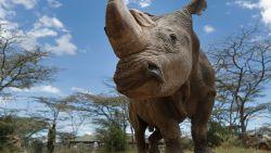 Sudan, de allerlaatste mannelijke noordelijke witte neushoorn ter wereld, is gestorven