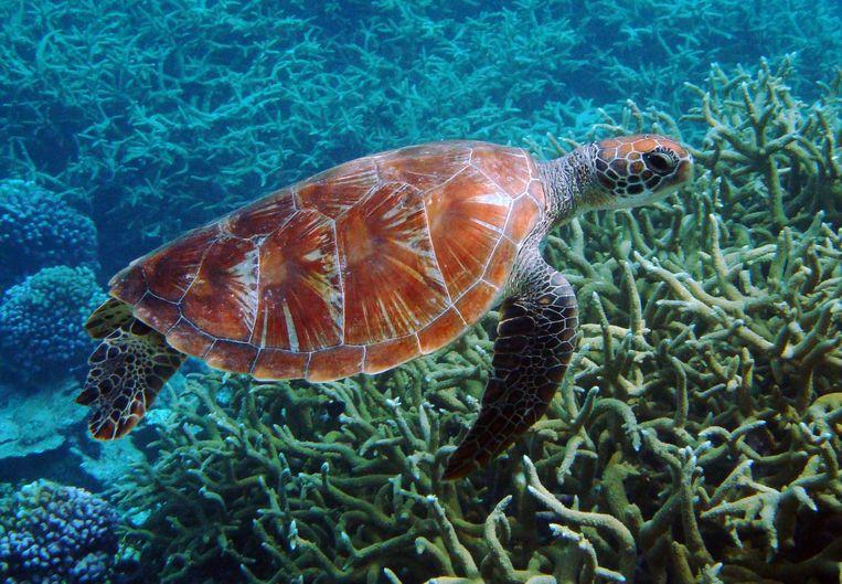 Een zeeschildpad bij de Palmyra-atol, onderdeel van het Pacific Remote Islands Marine National Monument.