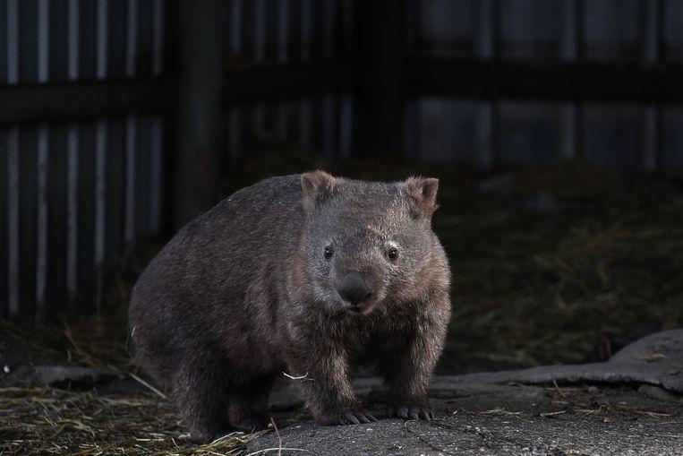 De wombat