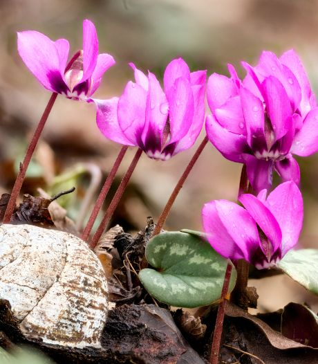 Dit is het moment om winterharde tuincyclamen te planten