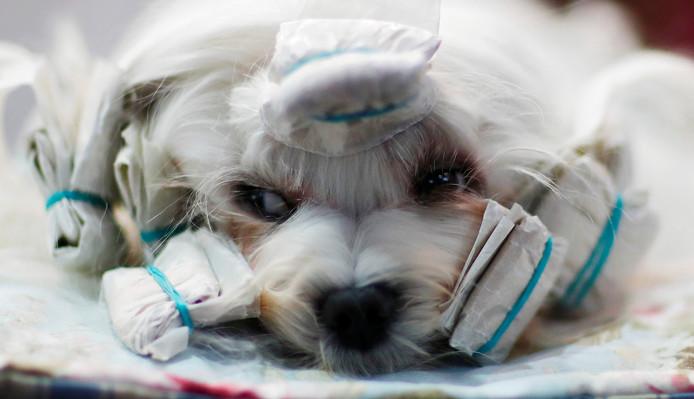 """Een hond met krulspelden in het haar, wacht gelaten op zijn beurt, bij de """"World Dog Show"""" in Leipzig, Duitsland. Foto Hannibal Hanschke"""