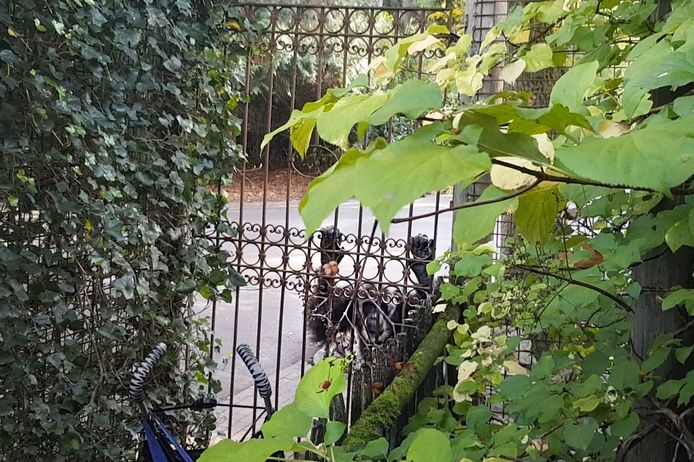 Meerdere chimpansees ontsnapten in DierenPark Amersfoort