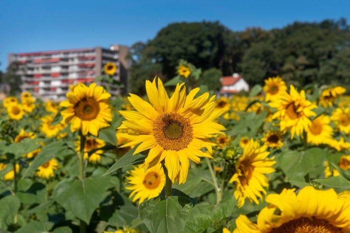 Zonnebloemenveld op Landgoed Mariëndaal.