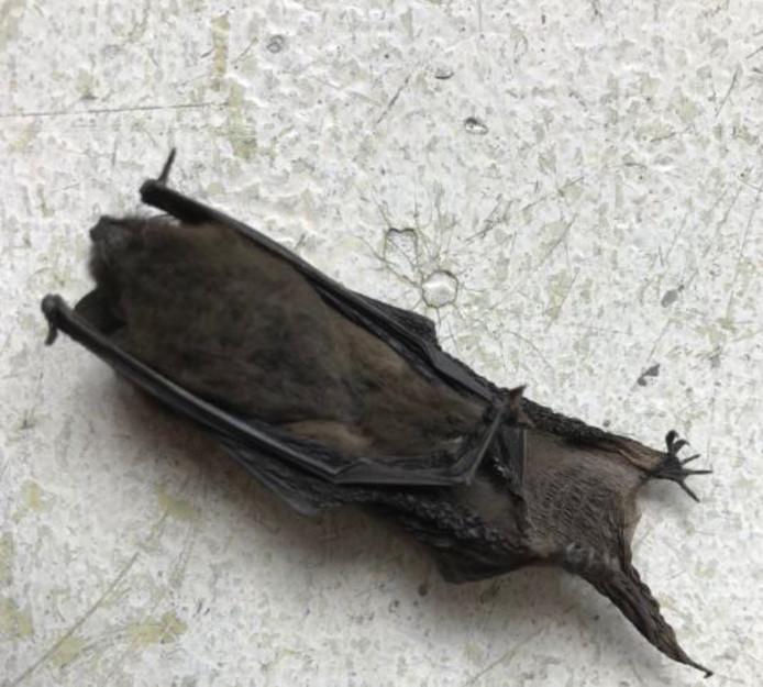 De vleermuis viel uit een rok.