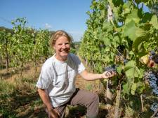 Slecht weer op komst: Wageningse wijngaard stelt oogstfeest week uit