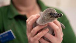 Verzorgers redden te vroeg geboren pinguïn